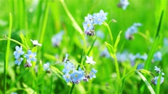 Beautiful Blue Forget-me-not Flowers at Field Stock Footage