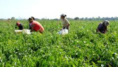 Group of poor people working in the field, picked red peppers. Stock Footage