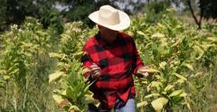 Farmer Working Tobacco Industry Crops Field Ripe Plant Farm Plantation Man Walk Stock Footage
