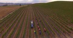 Aerial seasonal workers picking up grapes during harvest in vineyard sunset 4K - stock footage