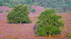 Oak trees in the wind Stock Footage