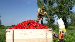 Workers spilling sack with peppers in trailer, people picking peppers in field. Stock Footage