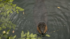Hungry beaver - stock footage