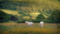White Horses Grazing On Summer Evening Stock Footage