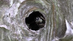 White faced hornets in a paper nest close up wildlife nature animal Stock Footage