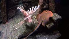 Lion Fish Swimming With Stingray Stock Footage