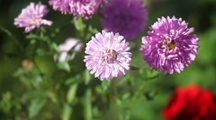 purple flowers in summer close-up bee collects pollen flies blurred background - stock footage