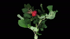 Time-lapse of drying Rosa Rubiginosa branch in RGB + ALPHA matte - stock footage