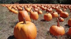 Field of pumpkins camera pan Stock Footage