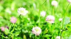 Clover In The Wild Field Of Green Grass Stock Footage