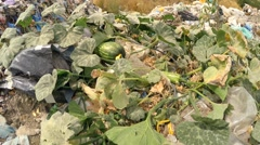 Green Melon Growing On A Heap Of Garbage Stock Footage