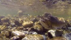 Salmon, Pink, Spawn, River, Pink Salmon Stock Footage