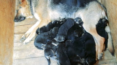 Adult dog sleeps with their puppies Stock Footage