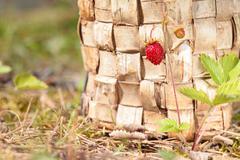 Bush with one strawberry on stem. Wood background - stock photo