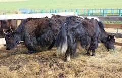 Yak is long haired bovid found throughout the Himalaya region of southern Stock Photos