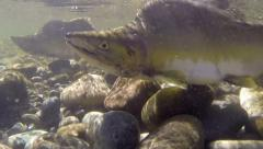 Salmon, Pink, Spawn, River, Pink Salmon - stock footage