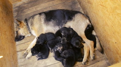 Mother Shepherd lying on the floor and puppies, top view Stock Footage