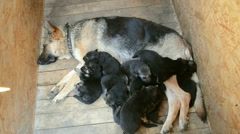 German Shepherd puppies are handful of about moms,  fall asleep Stock Footage