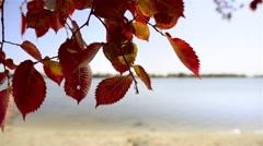 Red Elm Leaves Stock Footage