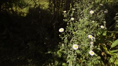 Small Pink Daisies - stock footage