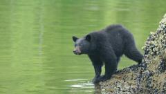 Black Bear Near Water 04 60fps 1080p Stock Footage