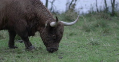Grazing Scottish Highland Cattle, medium shot Stock Footage