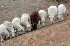 Seven white and one brown sheep stand is obedient on a hillock - stock photo