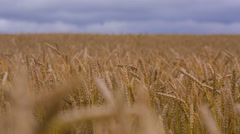 Field of ripe wheat. Raw 14-Bit Video Stock Footage