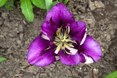 Motley tulip in the garden. - stock photo