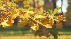 Colorful autumn oak leaves Stock Footage