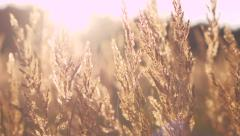 Stock Video Footage of Yellow dry grass in sunset light