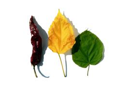 Red pepper, yellow and green leafs on white background - stock photo