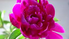 Timelapse of pink peony flower blooming. Time lapse. Stock Footage