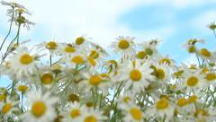 A camomile swaying in the wind. - stock footage
