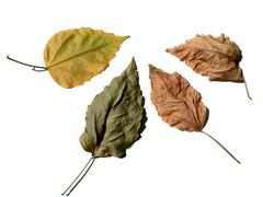 four leaves on white background - stock photo