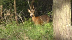 German Roe Deer head caught in first morning light Stock Footage