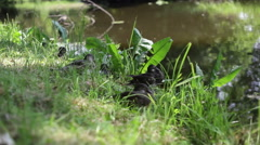 Small ducks sit next to river in the shade Stock Footage