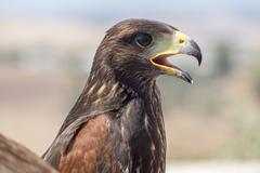 Golden eagle resting in the sun with open beak - stock photo