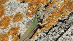 Green wall lizard on rock with orange lichen. Amalfi Coast, Italy. Stock Footage