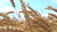 Golden ripe ears of wheat against the sky Stock Footage