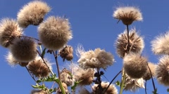 Group of dandelion flowers and blue sky background. Wind Stock Footage