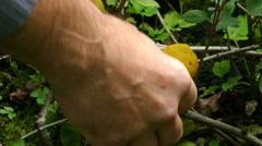 Hand breaks a lemon from tree branch, in September 2015 Stock Footage