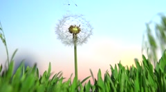 Dandelion seeds blown up by the wind. Stock Footage