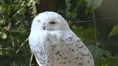 Snowy owl very close up head portrait profile shot Stock Footage