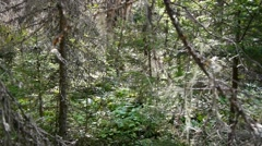 Fugitive explores the forest behind some dried branches 84f Stock Footage