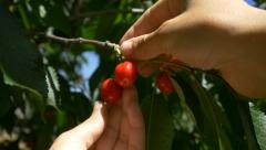 Farmer checking picking fresh fruit tree organic ecologic mature red cherry 4k - stock footage