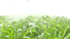Fresh green cos in hydroponics gardens - stock footage