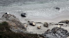 Seals On Beach And In Surf Monterey California Stock Footage