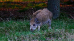 Wild Boar in nature Stock Footage