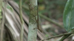 Anolis on tree trunk Stock Footage